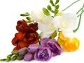 Skaisti, svaigi ziedi un ziedu pušķi ar piegādi