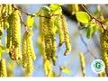 Latvijā sāk ziedēt bērzi - galvenie pavasara alerģiju izraisītāji