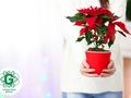 Kā kopt eglīti podiņā, alpu vijolīti, Ziemassvētku zvaigzni un citus ziemas augus