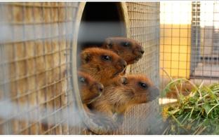 Iepazīsti murkšķi un paglaudi šinšillu – eksotiskie dzīvnieciņi Latvijas minizoodārzos