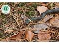 Cik indīgas ir Latvijas čūskas un kā rīkoties, ja tās iekož bērnam?
